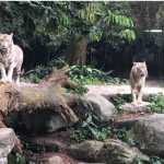VIDEO of Animal Escapades at Singapore Zoo!